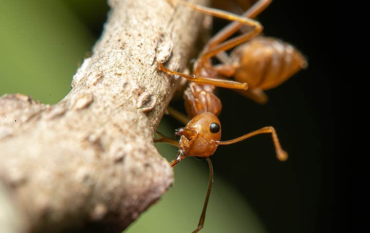 fire ant on a branch