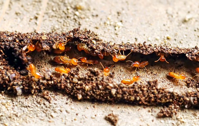 termites in a dirt tube