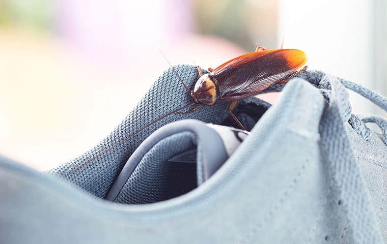 american cockroach on a shoe