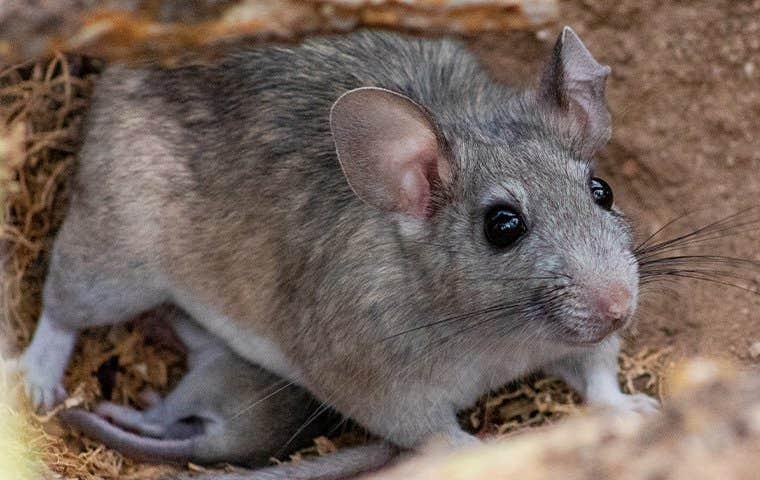 a pack rat up close