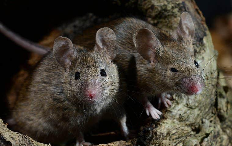 little house mice