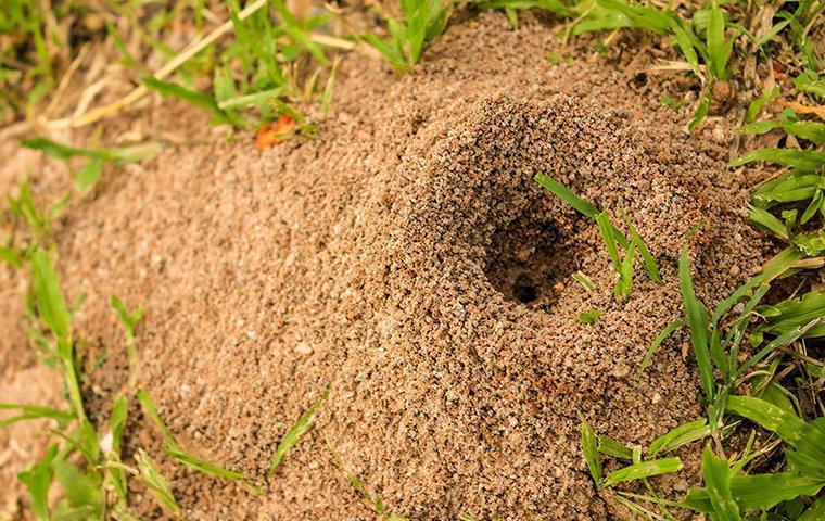 Fire ant hill in a Dallas, TX yard