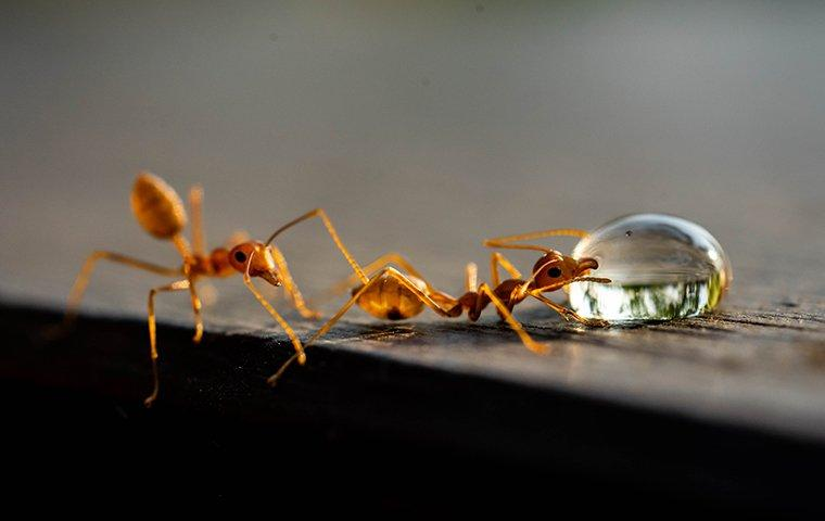 Fire ants crawling on a table with a drop of water