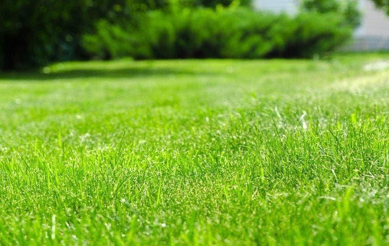 Healthy green lawn in Dallas, TX yard