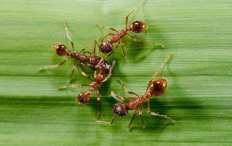 Fire Ants on a blade of grass near Frisco, TX