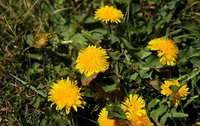 Yellow dandelions springing up on Dallas, TX lawn