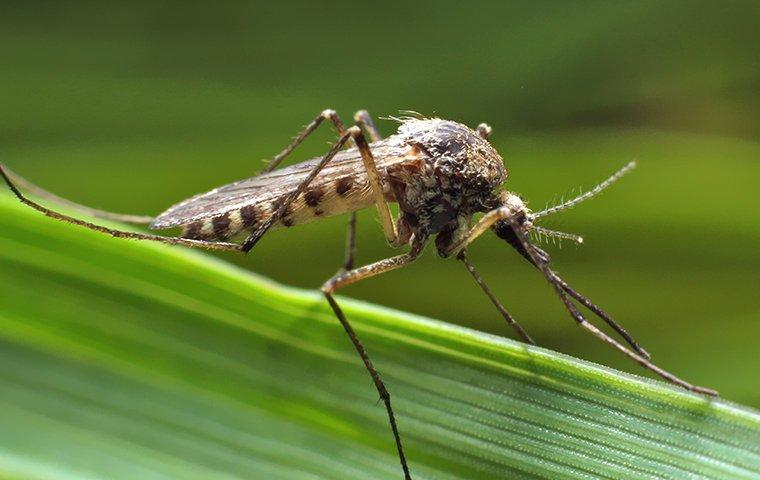 Mosquito landing on a blade of grass near Dallas, TX