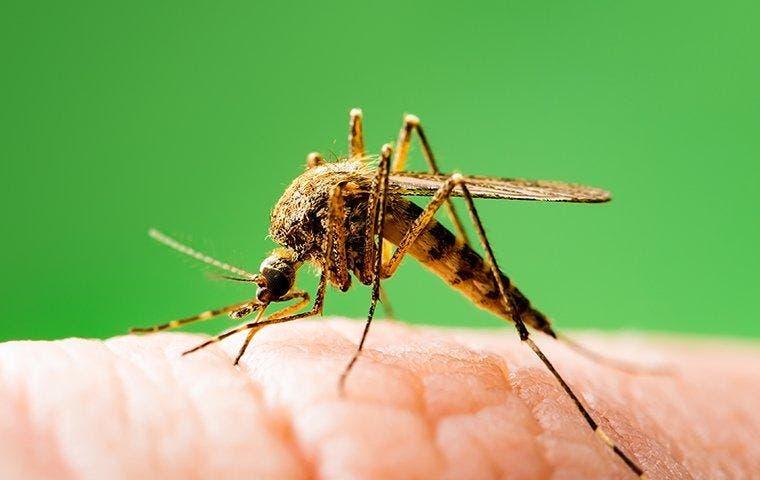 Mosquito biting skin near Dallas, TX