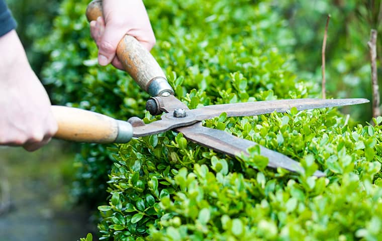 person cutting hedges in lewisville texas