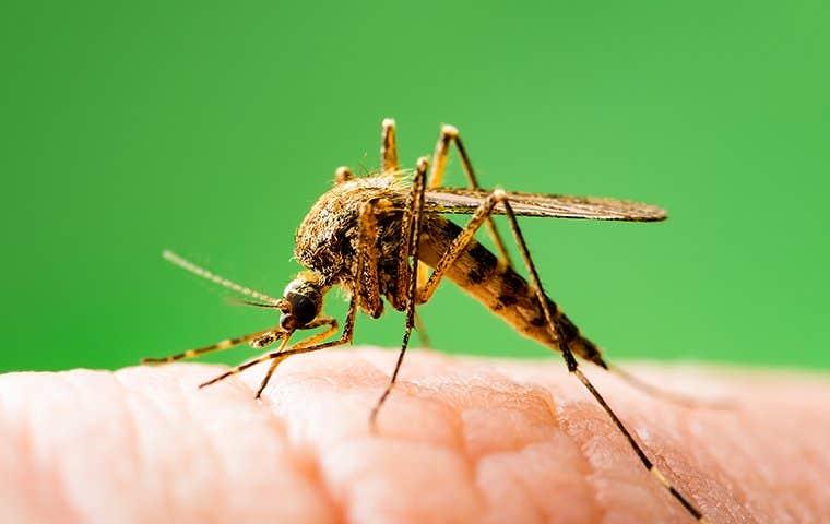 a mosquito on skin  in salt lake city utah