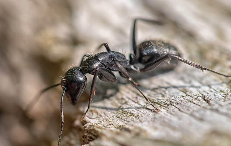 an ant on wood  in salt lake city utah