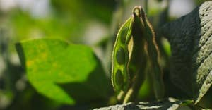Une nouvelle étude confirme que la protéine de soja est tout aussi efficace que la protéine de lactosérum pour renforcer la masse musculaire et la force.