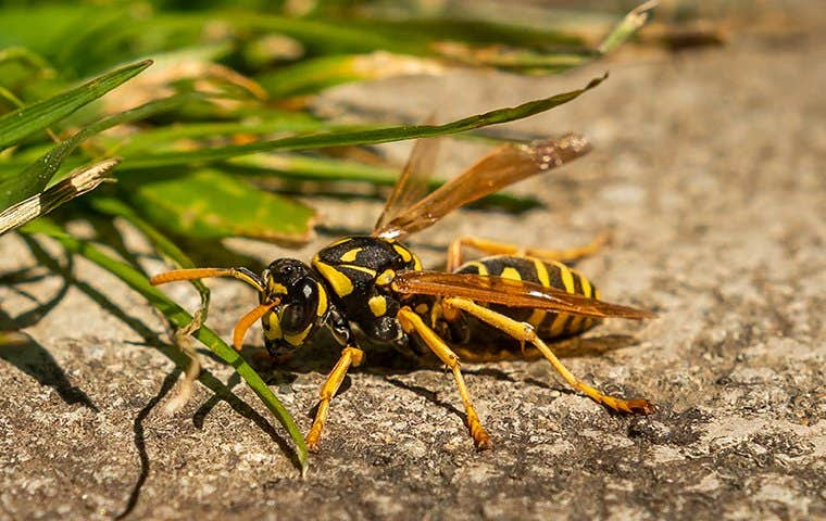a wasp in akron ohio