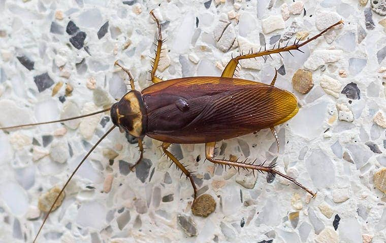 an american cockroach in akron ohio