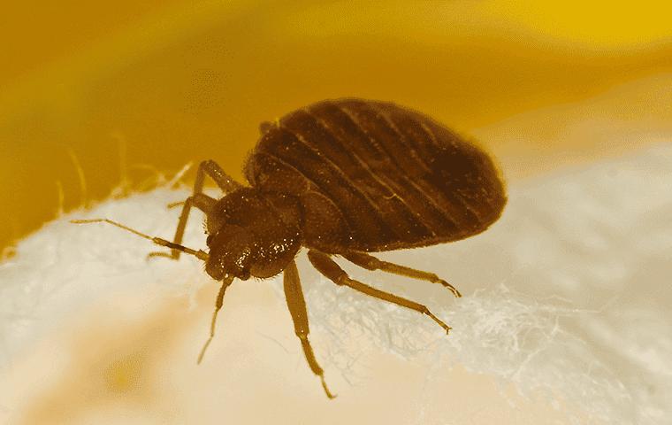 bedbug on cloth