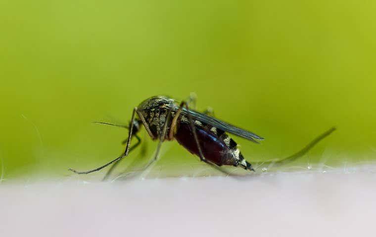 a mosquito on skin in tucson arizona