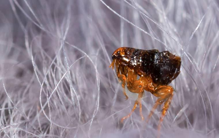 flea in white dog hair in tucson arizona