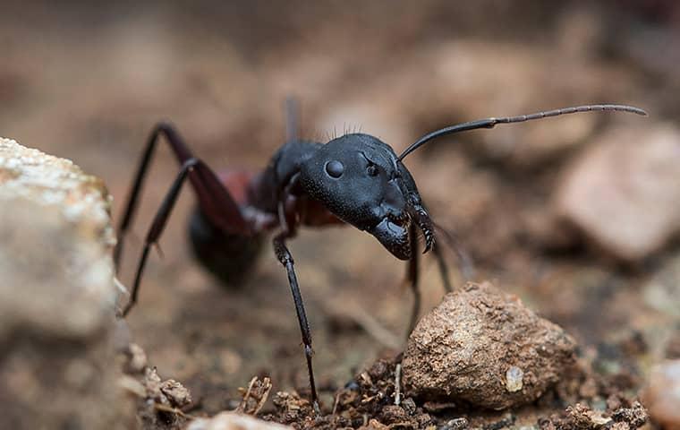 a black ant in tucson arizona