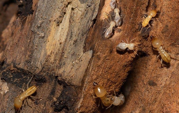 many termites destroying wood