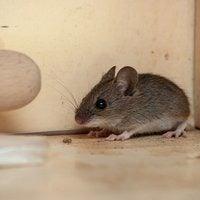 house mouse in a kitchen cupboard