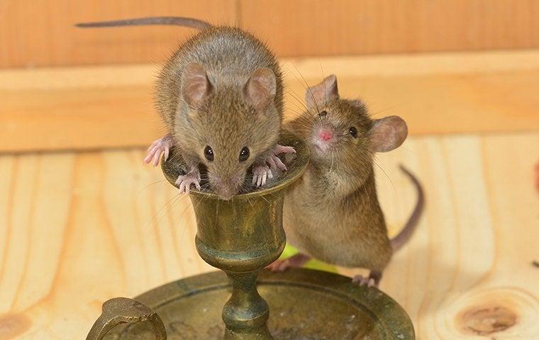 mice infesting a home in tucson arizona