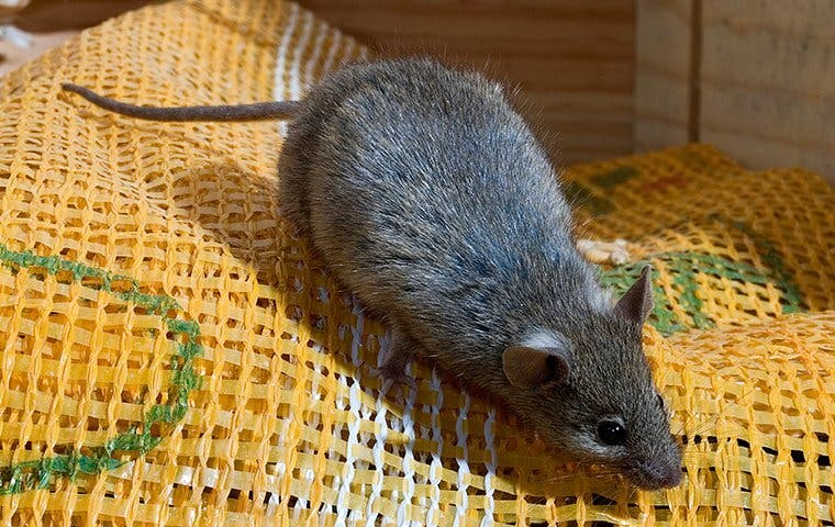 house mouse crawling on fabric