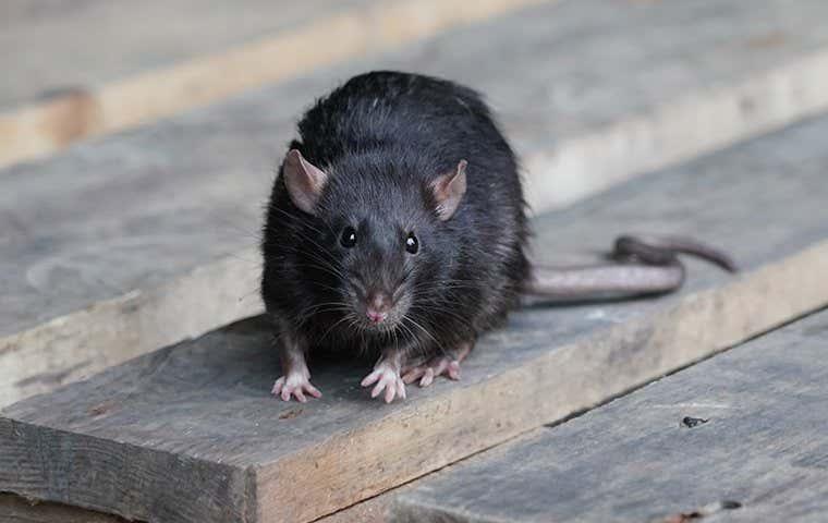 a black rat in tucson arizona