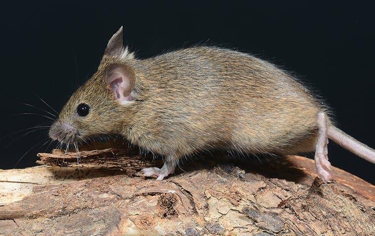 mouse on wood in tucson arizona