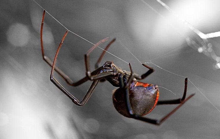 black widow spider crawling on a web