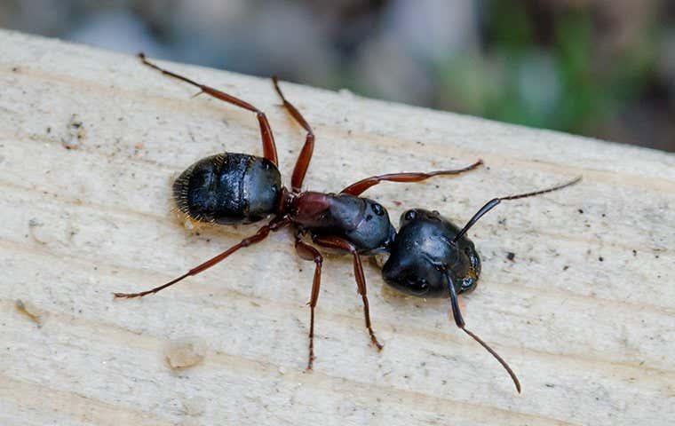 an ant on gravel in tucson arizona