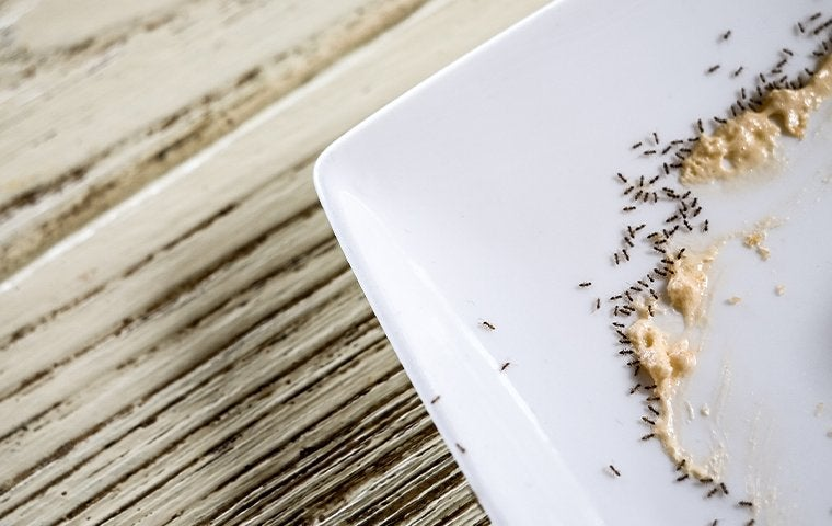 ants crawling on a plate with leftover food