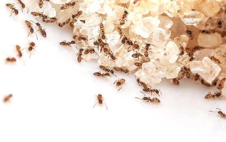 dozens of ants in a kitchen