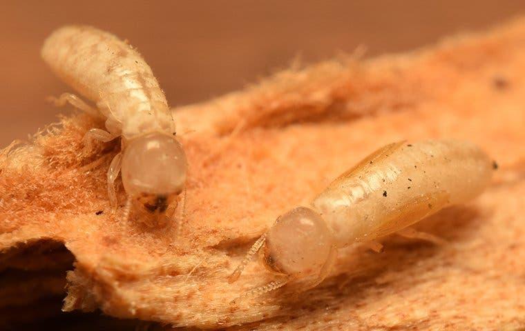 two drywood termites crawling on damaged wood