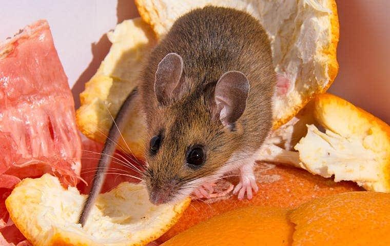 a mouse on orange peals