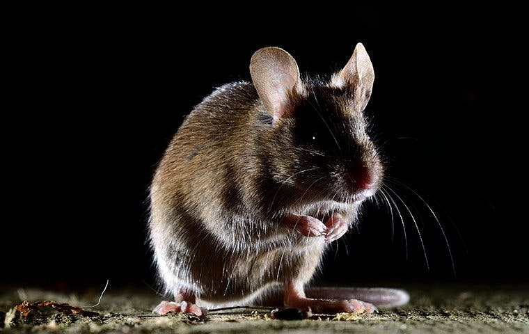 a house mouse in the dark