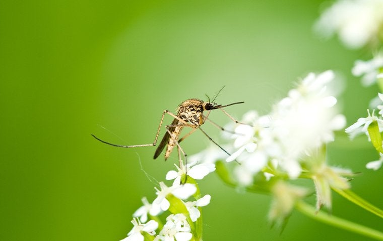 a mosquito perched on tiny white flowers