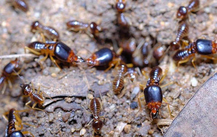 termites all over the ground
