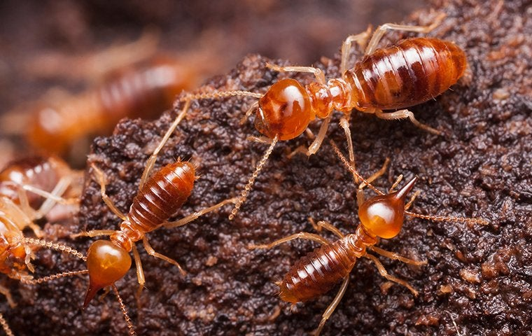 termites crawling on moist wood in a home