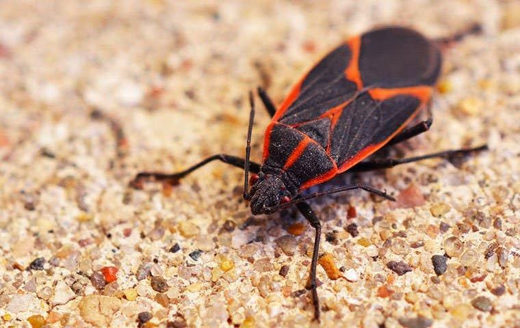 a boxelder bug on gravel