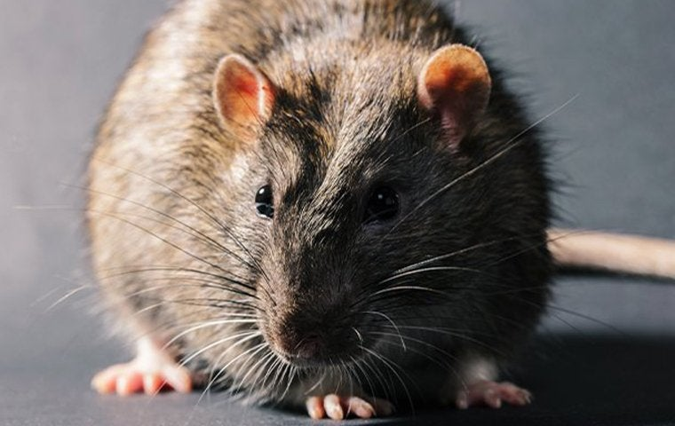 a norway rat inside a house