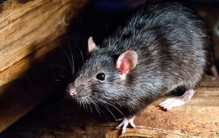 Roof Rat in The Villages, FL