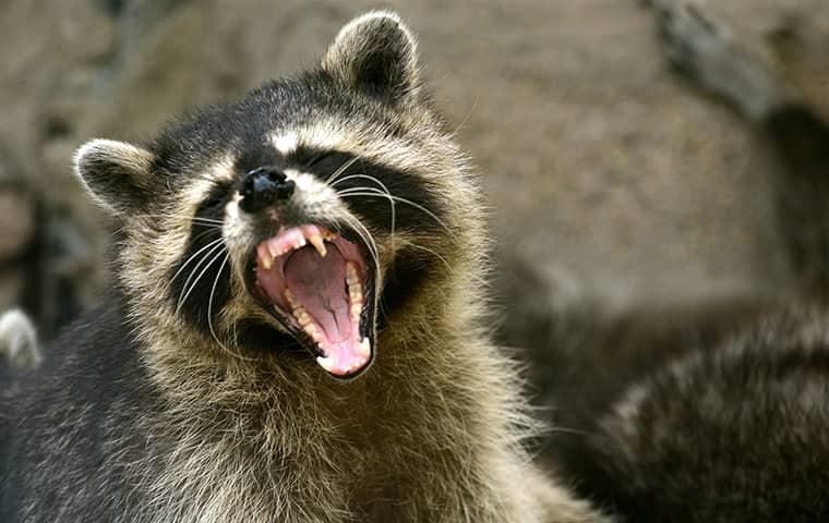 a raccoon showing its teeth