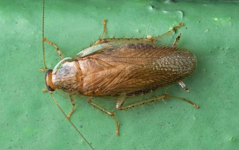 German cockroach on a leaf in The Villages, FL