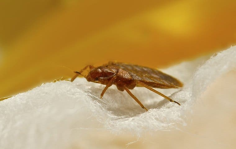 a bed bug on a blanket