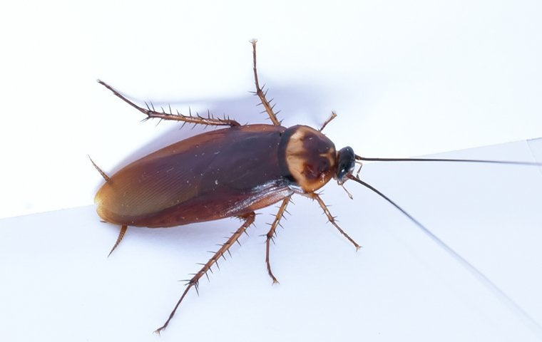 American Cockroach in a Lake County, FL Kitchen