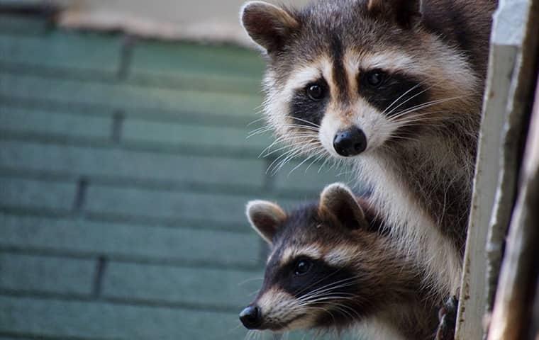 raccoons looking around