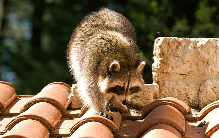 raccoon crawling on roof tiles