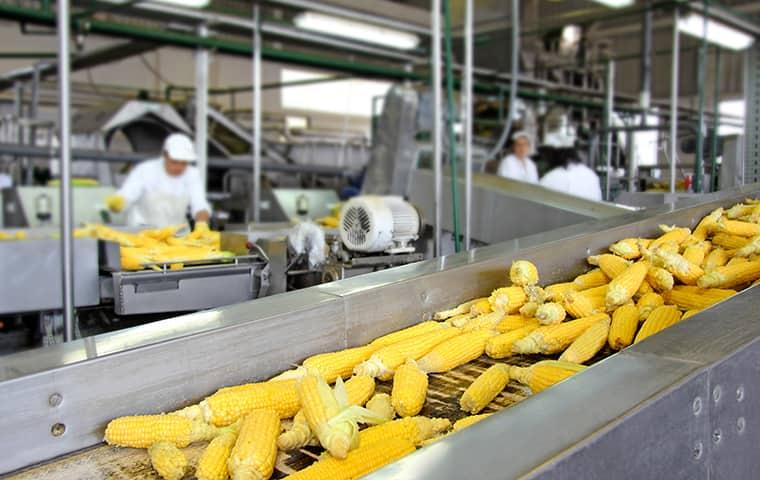 corn cobs on a conveyer belt