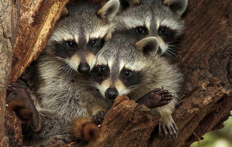Three Raccoons in a tree in The Villages, FL