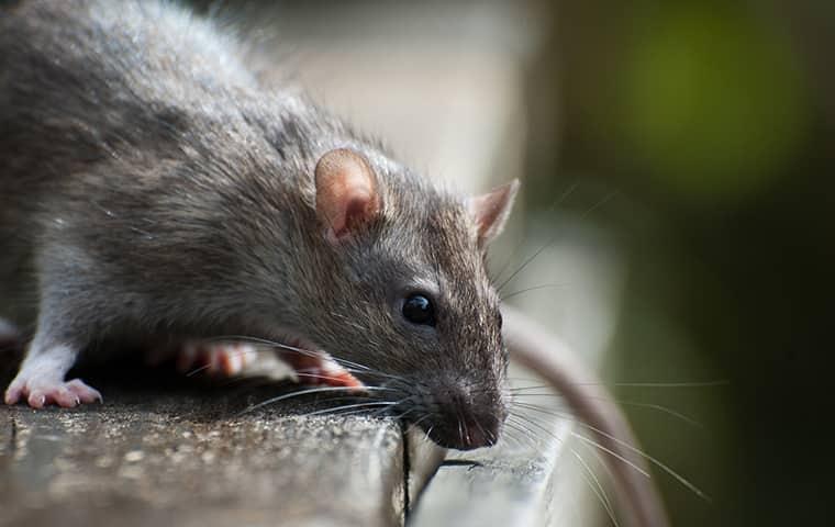 a roof rat up close
